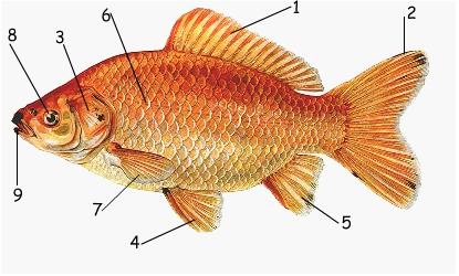 Simply Goldfish Biology