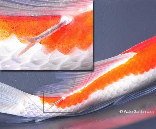 Anchor worm disease causes symptoms cure and prevention for Anchor worm on fish