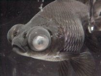 Clowdy eye disease causes symptoms cure and prevention for Fishing eye syndrome