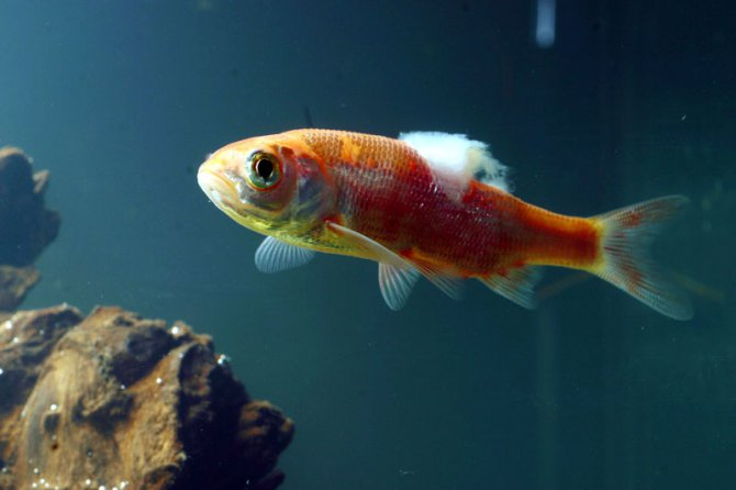 911 what 39 s wrong with my swordtail tropical fish forums for Pond fish diseases