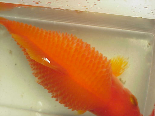 Fish diseases and parasites - Wikipedia