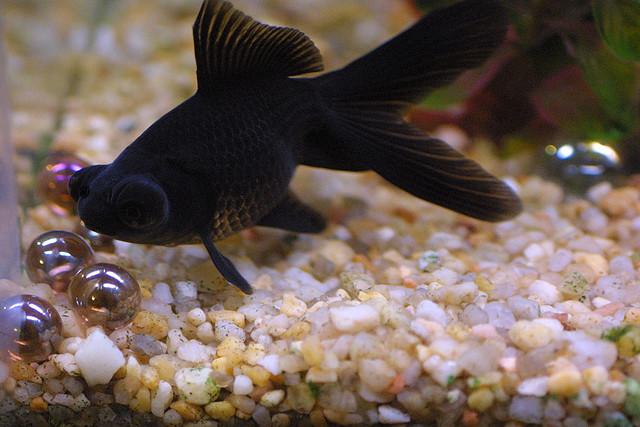 Black more fish
