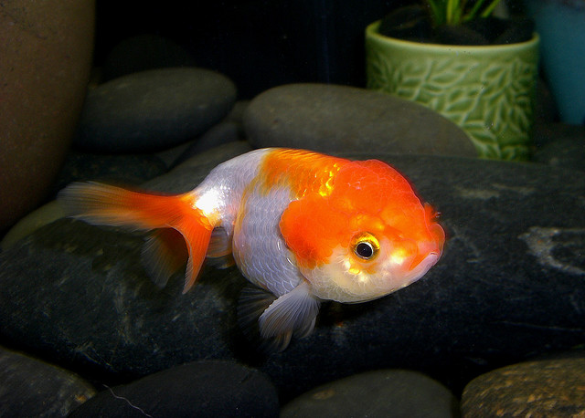 Lionhead Goldfish - Tips and Characteristics