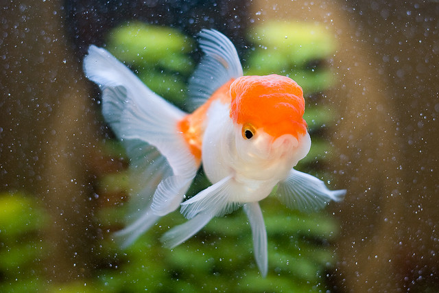 White oranda goldfish - photo#9