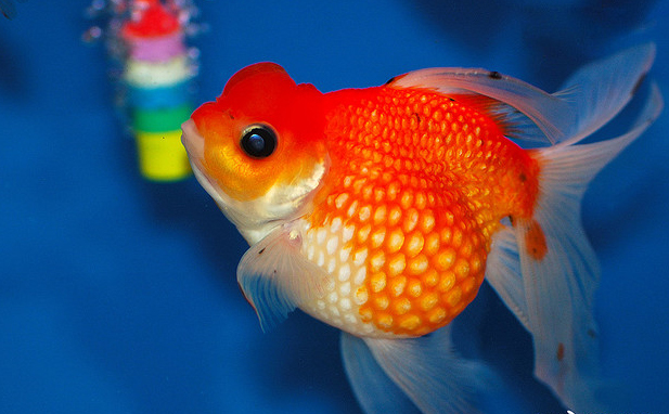 Pearlscale goldfish - photo#24