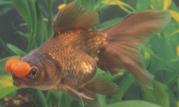 Black Goldfish Types ... goldfish. With bun...
