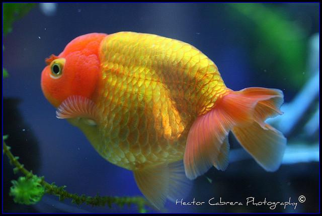 Lionhead goldfish vs ranchu