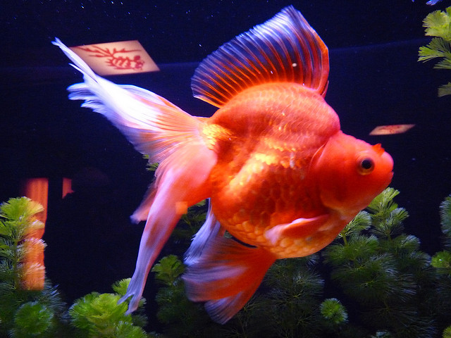 Red fantail goldfish lifespan - photo#13