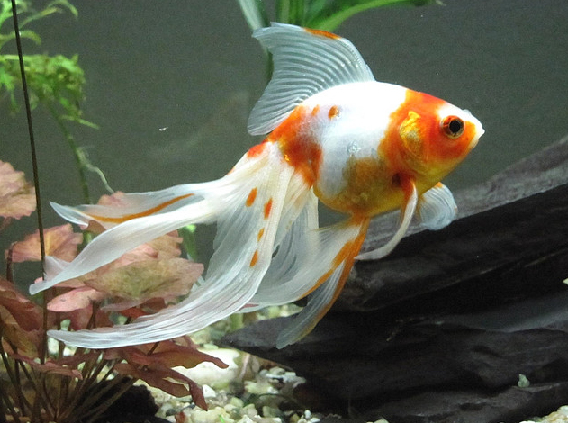 Fantail goldfish - photo#27