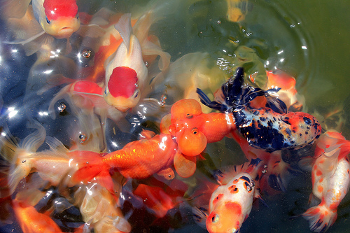 Breeding Goldfish Successfully | A Step-by-Step Guide