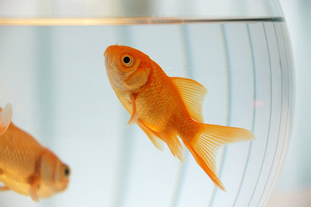 Caring for goldfish how to get started for Easy fish to care for