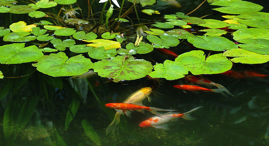 Goldfish types for ponds for Goldfish pond plants