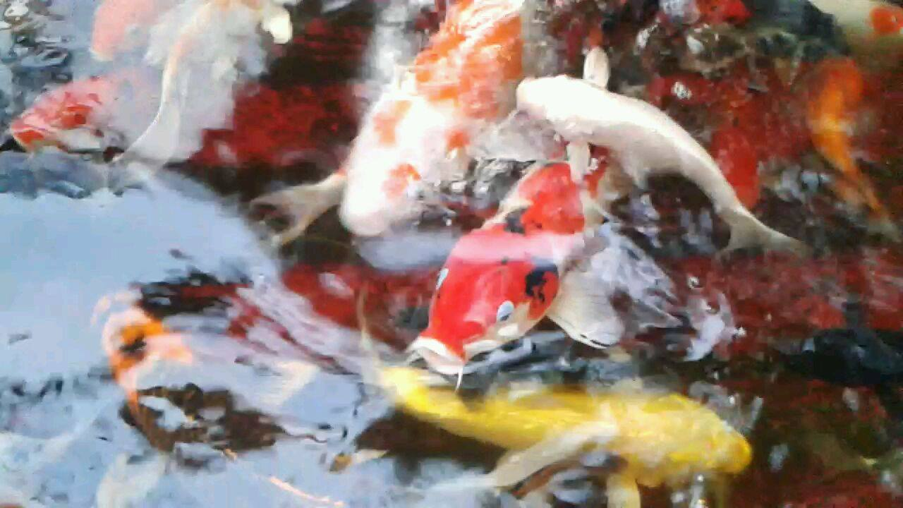 What You Need to Know About Koi Fish