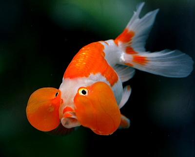 Mengenal Ikan Mas Hias dan Jenisnya 1